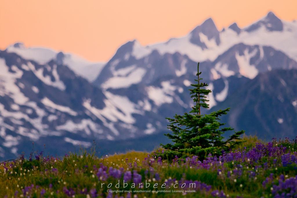 Barbee_090720_3_1261_Edit-Edit | Subalpine fir on Hurricane Ridge. Mt. Carrie in background. Olympic National Park.