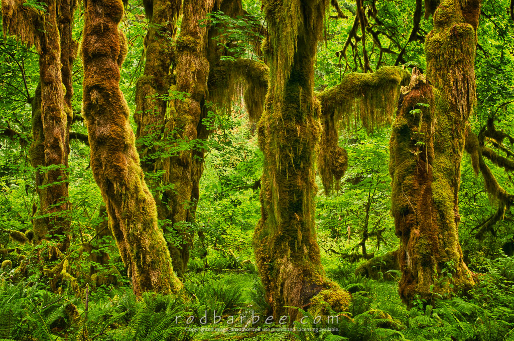 Barbee_110716_3_7925_HDR | Maple grove, Hall of Mosses Trail, Hoh rainforest, Olympic National Park, WA