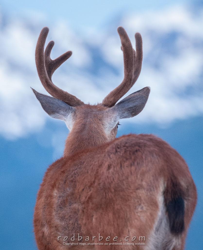 Barbee_130721_3_2595 | Columbia Blacktail deer from Hurricane Ridge