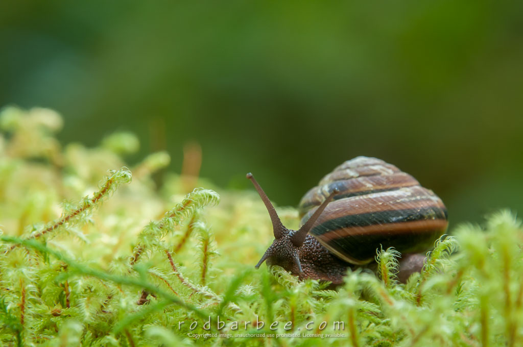 Barbee_140726_3_6264 | Snail in moss atop a fallen log in the Hoh rainfores. Hall of Mosses trail, Olympic National Park, WA